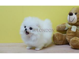Pomeranians - pure bred - miniture - only 2 gorgeous male puppies left