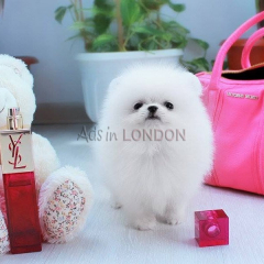 Lovely White Pomeranian