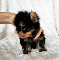 Rgue toy yorkshire terrier only five left! bhdxfg