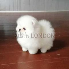 Super small, rare miniature pomeranian gir