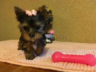 Bige adorable yorkshire terrier puppies for sale  rgi