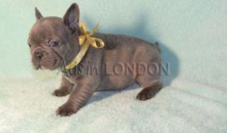 Blue French Bulldog Puppies. #1