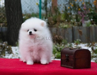 !!!!kiki ready,snow white mini pomeranian ice white