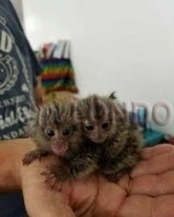 Twins pygmy marmosets babies available
