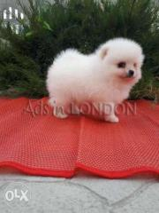 @@@@@ little pom white snow pure
