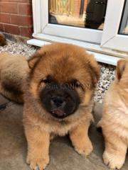 Kc reg chow chow puppies write me on whatsapp on