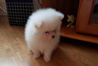 Beautiful fluffy teddy bear pomeranian whatsapp