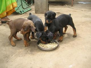 Bhdf top quality male & female dobermann puppies for sale
