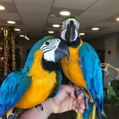 Hand reared baby blue and gold macaws parrots