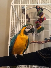 Bonded blue and gold macaws