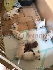 Vgyggfzs westie puppies for sale jsgt