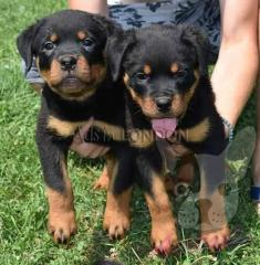 Bg beautiful rottweiler puppies for sale yky