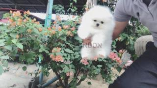 Willing,%100 x %100 Ready,Snow White Mini Pomeranian ice white mini li