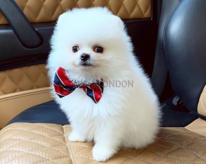 Socialized fluffy teddy bear pomeranian whatsapp