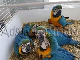 Extremely gorgeous babies macaw . 1 reserved