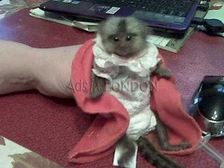 3 months cute baby pygmy marmoset monkeys