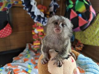 Cute pygmy marmoset Capuchin monkeys