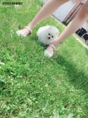 5eew amazing pure white miniature pomeranian pure bred fgnkfg
