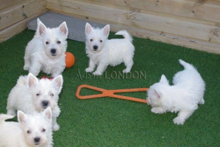 West Highland Terrier Puppy Boy and Girl