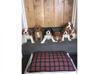King charles cavalier puppies- now ready