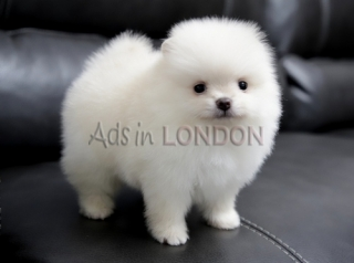 Little lovely pomeranian puppies  @@@