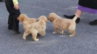 Huga lovely golden retriever puppies rth