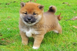 Lovely little Shiba Inu Puppies For Sale