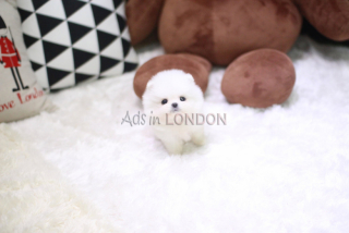Vaccination fluffy teddy bear pomeranian whatsapp