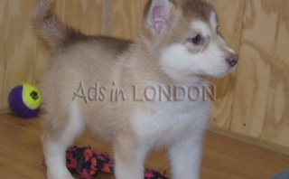 USDEARWE Registered Siberian Husky Puppies