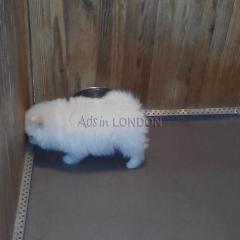 DRR Lovely little Pomeranian Boy available now