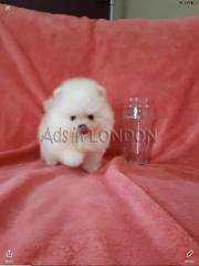YYEY Beautiful fluffy teddy bear pomeranian whatsapp