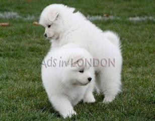Gyrfe healthy samoyed puppies for sale rek