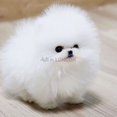 Tiny Pure fluffy teddy bear pomeranian whatsapp
