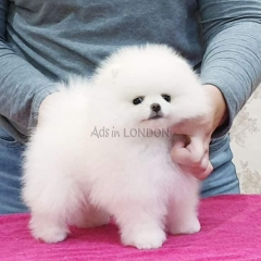 %100 Ready,Snow White Mini Pomeranian ice white mini