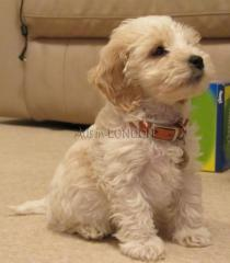 Mjer adorable cockapoo puppies pra clear