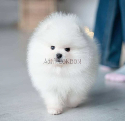 KC reg.fluffy teddy bear pomeranian whatsapp
