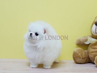 MIX little pom white snow pure