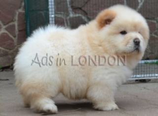 DFRESF Chow Chow Puppies
