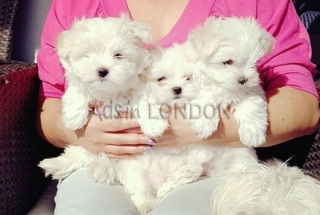 Adorable little Maltese puppies
