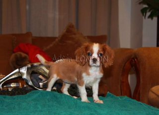 Gorgeous Cavalier King Charles Puppies For Sale