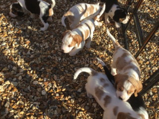 Gorgeous Litter Of Beagle