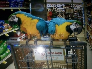 Baby HandReared Super Silly Tame Macaw Parrot