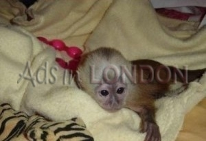 Gorgeous F/M Capuchin Monkey