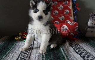 Adorable black and white Siberian Husky puppies