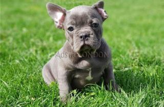 Blue French Bulldog PuppiesNw Ready