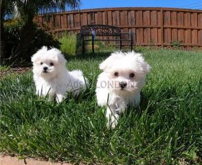 Ice White Maltese Puppies
