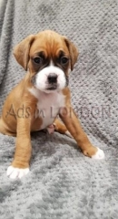 Kc Registered Boxer Puppies For Sale
