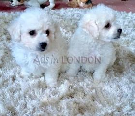 HSDD Bichon Frise Puppies