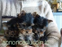 Chiots Yorkshire terrier disponible